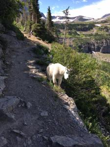 Mountian Goat 2